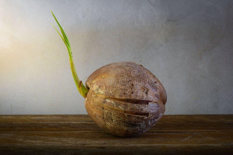 Νεαρός βλαστός του δέντρου καρύδων στοκ εικόνα με δικαίωμα ελεύθερης χρήσης