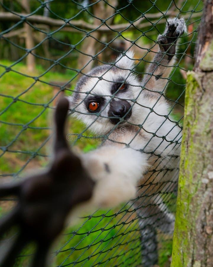 Νεαρός περίεργος λεμούρ στοκ φωτογραφία με δικαίωμα ελεύθερης χρήσης
