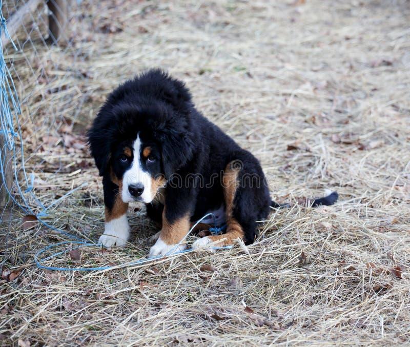 Νεαρός σκύλος, φύλακας του κτήματος στοκ εικόνες