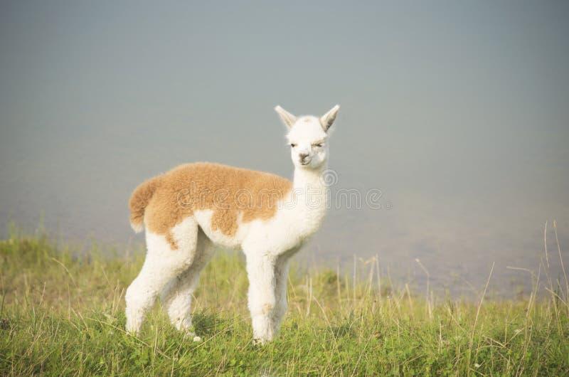 Νεαρός Alpaka στοκ εικόνες
