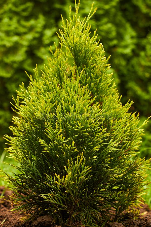 Νεαρό φυτό χρυσού σμαραγδί, χρυσό σμαράγδι στοκ εικόνα