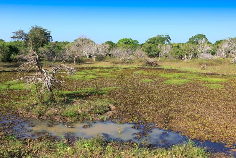 Νεκρά δέντρα στο έλος στη ζούγκλα στοκ εικόνες