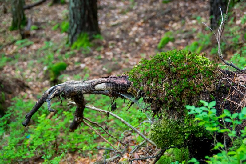 Νεκρά ρίζες και βρύο δέντρων στοκ εικόνα με δικαίωμα ελεύθερης χρήσης