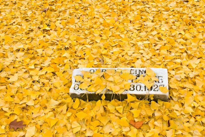 νεκρά φύλλα gingko στοκ φωτογραφίες