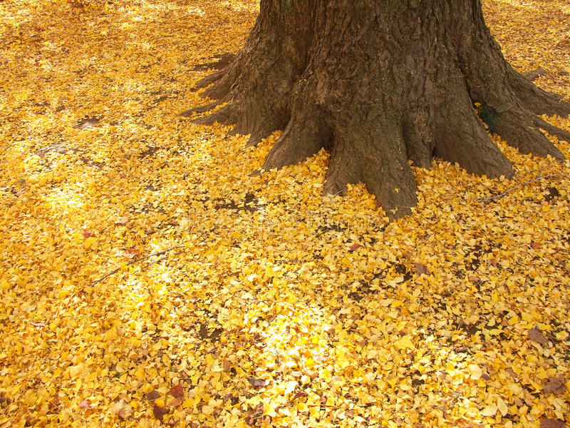 νεκρά φύλλα ginkgo στοκ εικόνες
