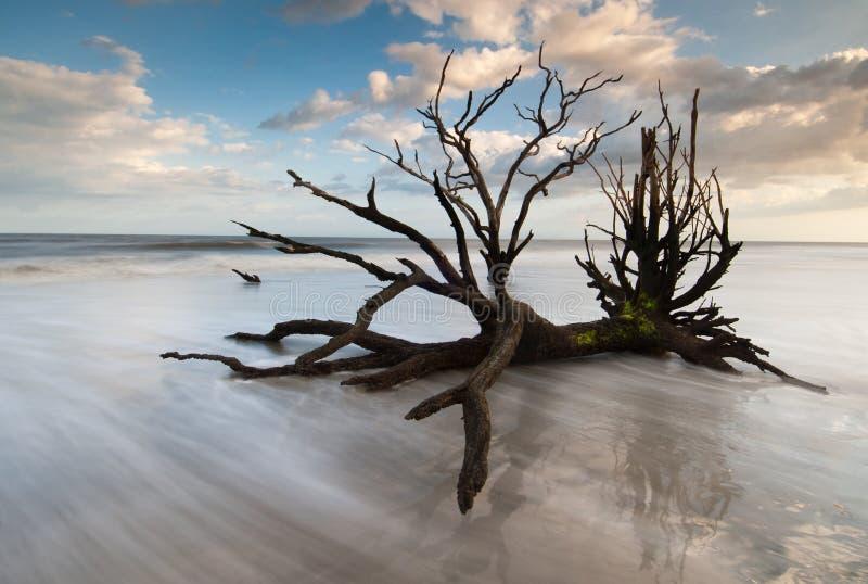 νεκρά ωκεάνια δέντρα νότιων κυματωγών της Καρολίνας Τσάρλεστον στοκ εικόνες