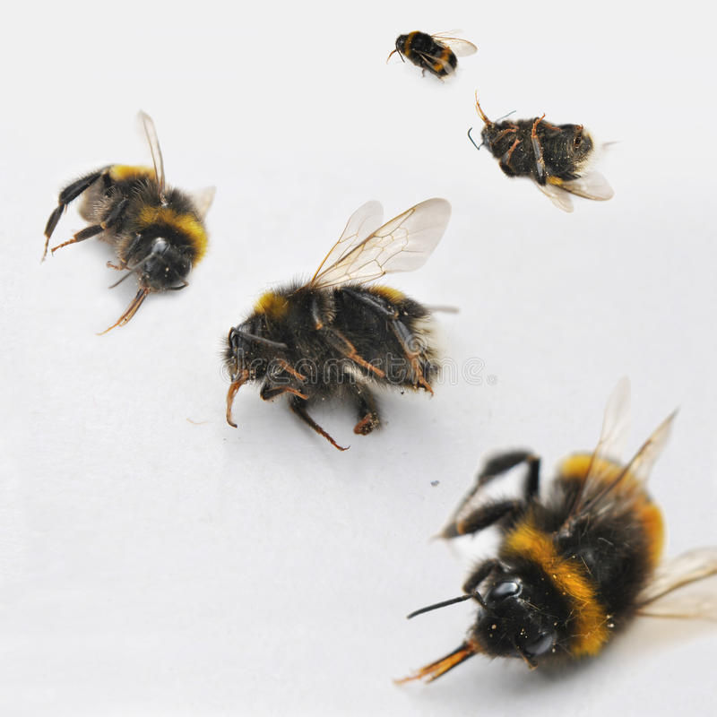 Νεκρές μέλισσες στοκ φωτογραφία