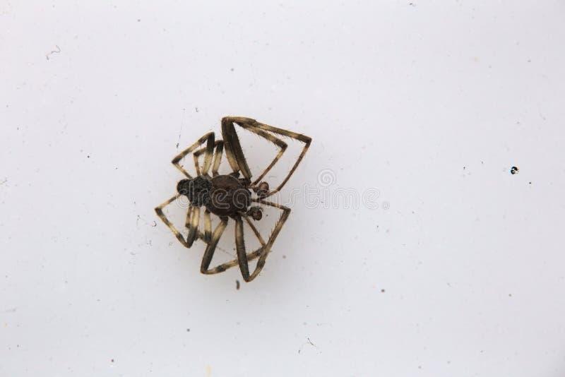 Νεκρή αράχνη στο λευκό στοκ φωτογραφία