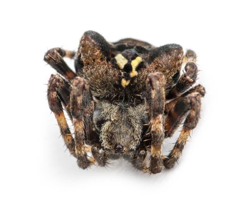 Νεκρή ευρωπαϊκή αράχνη κήπων, diadematus Araneus, που απομονώνεται στοκ εικόνα με δικαίωμα ελεύθερης χρήσης