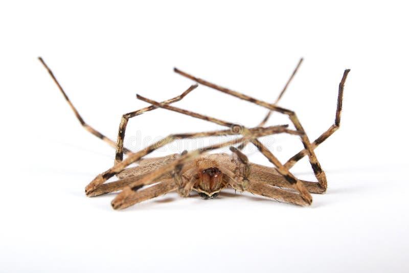 Νεκρή καφετιά αράχνη στοκ εικόνες με δικαίωμα ελεύθερης χρήσης