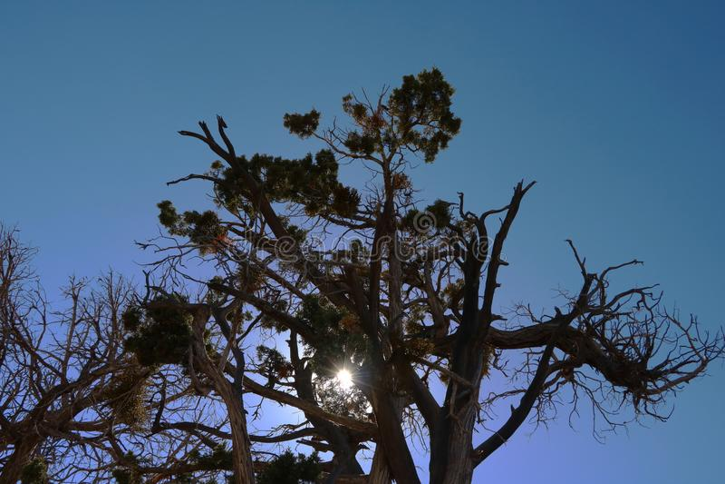Νεκρή μορφή σκιαγραφιών δέντρων ενάντια στο σαφή κενό μπλε ουρανό στο θερινό ήλιο στοκ εικόνες
