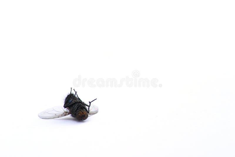 Download νεκρή μύγα Στοκ Φωτογραφία - εικόνα: 13892