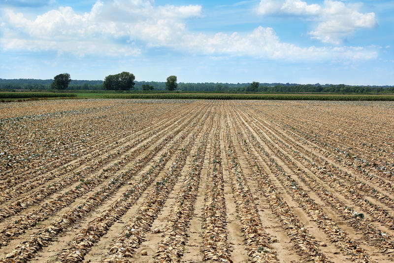 νεκρή ξηρασία συγκομιδών στοκ φωτογραφία με δικαίωμα ελεύθερης χρήσης