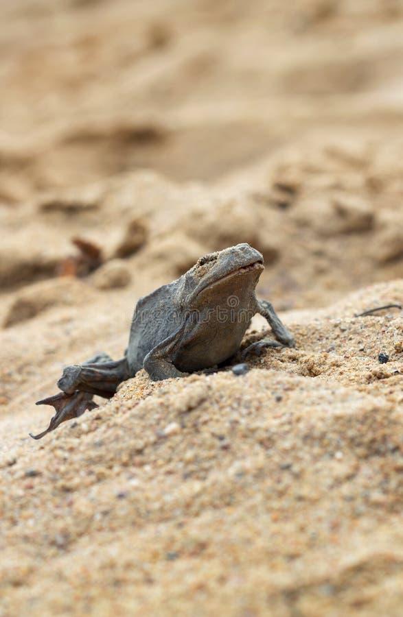 Νεκρός βάτραχος στην άμμο στοκ φωτογραφίες με δικαίωμα ελεύθερης χρήσης