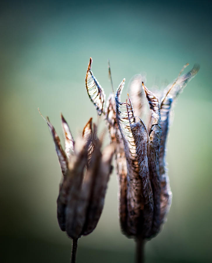 Νεκρός λοβός σπόρου στοκ φωτογραφίες