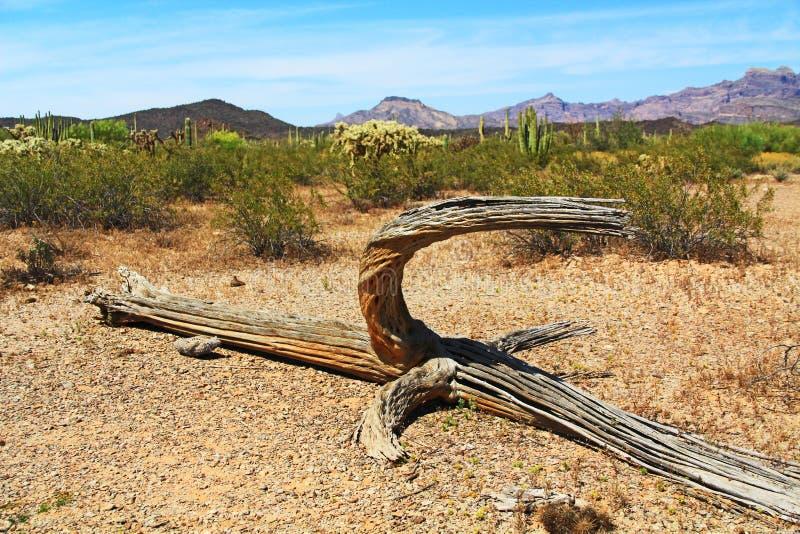Νεκρός σκελετός κάκτων Saguaro στο εθνικό μνημείο κάκτων σωλήνων οργάνων στοκ εικόνες