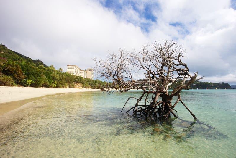 Νεκρό δέντρο μαγγροβίων στην παραλία στοκ εικόνες