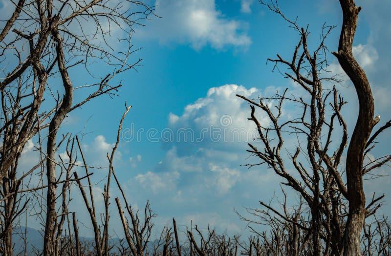 Νεκρό δάσος δέντρων ενάντια στο μπλε ουρανό και τα άσπρα σύννεφα Ξηρός καιρός Ξηρότητα της έννοιας ζωής Επίδραση από την παγκόσμι στοκ φωτογραφία