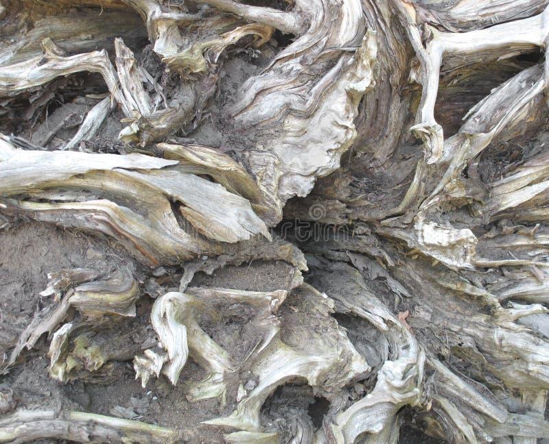 νεκρό δέντρο ριζών στοκ εικόνες