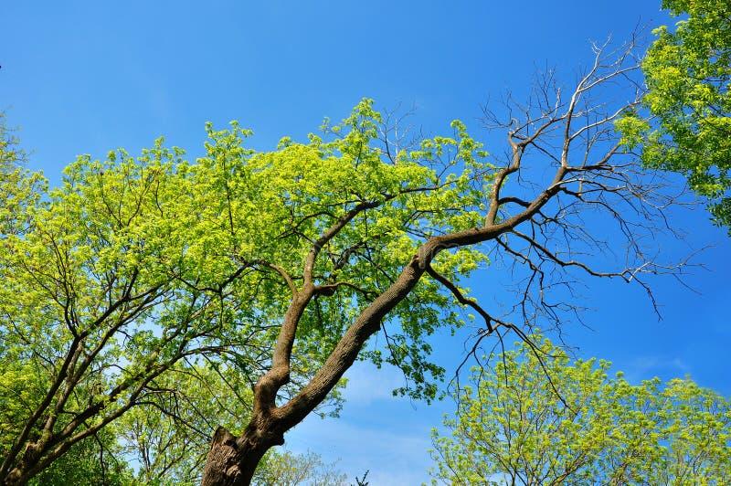 Νεκρό δέντρο σε ένα δέντρο πλευράς και διαβίωσης στο ελατήριο στοκ φωτογραφίες με δικαίωμα ελεύθερης χρήσης