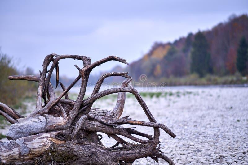 Νεκρό δέντρο στη Isar παραλία στοκ εικόνες με δικαίωμα ελεύθερης χρήσης