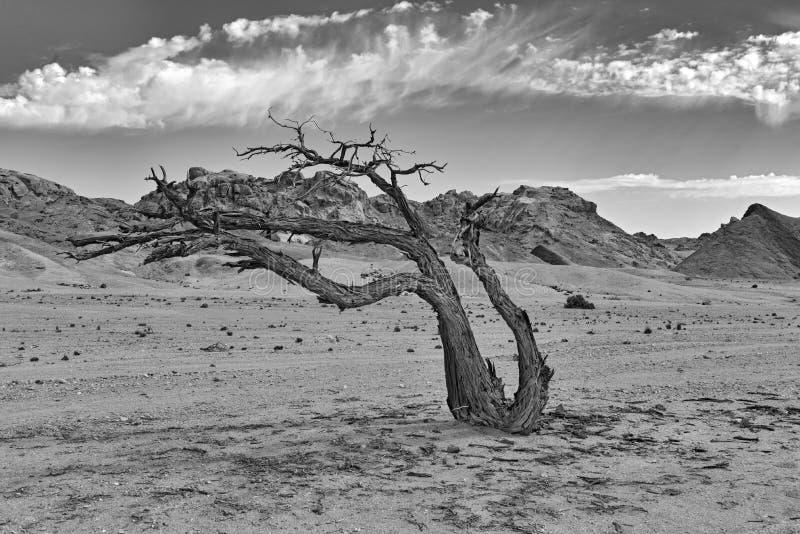 Νεκρό δέντρο στον ξηρό ποταμό Swakop, Ναμίμπια σε γραπτό στοκ εικόνες