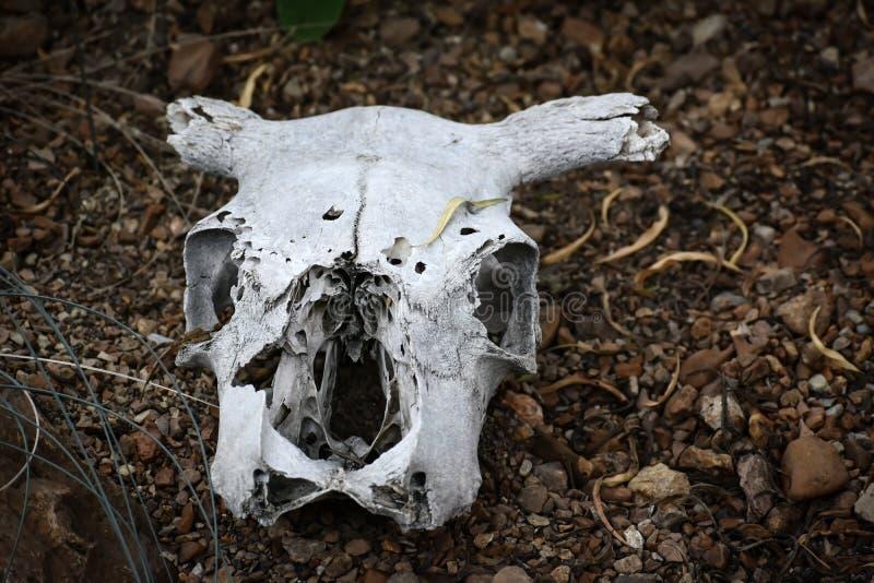 Νεκρό ζώο, κόκκαλα κρανίων, σκελετός στοκ εικόνες με δικαίωμα ελεύθερης χρήσης
