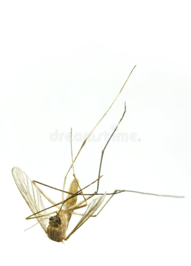νεκρό κουνούπι στοκ εικόνες