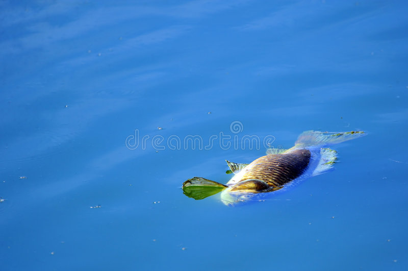 νεκρό να επιπλεύσει ψαριών στοκ εικόνες