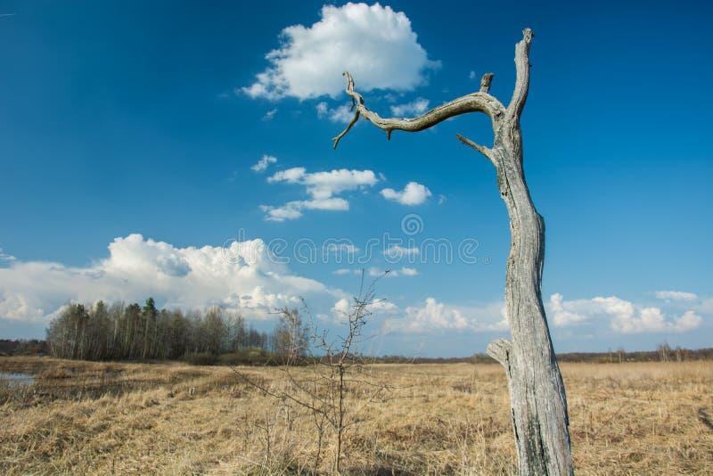 Νεκρό παλαιό δέντρο στην ξηρά χλόη, τον ορίζοντα και τα άσπρα σύννεφα στο μπλε ουρανό στοκ εικόνα με δικαίωμα ελεύθερης χρήσης