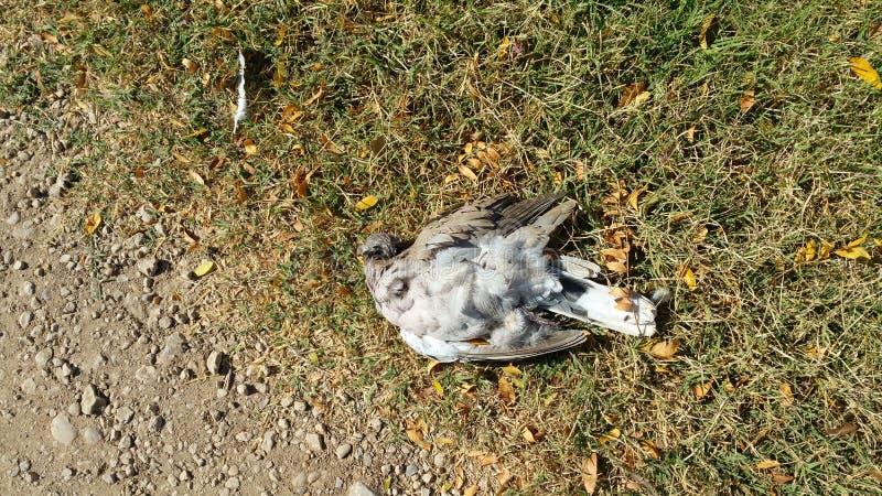 Νεκρό περιστέρι στο έδαφος στοκ φωτογραφίες με δικαίωμα ελεύθερης χρήσης