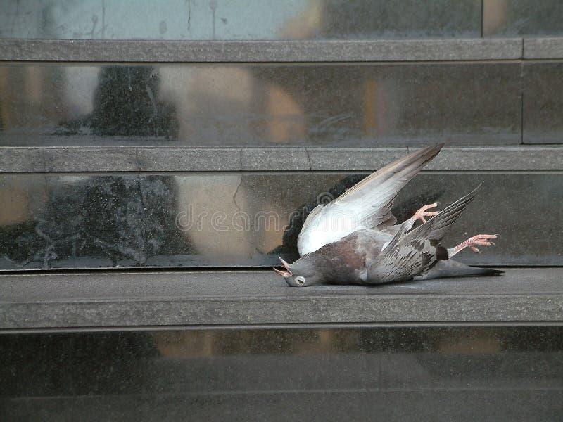 Download νεκρό περιστέρι στοκ εικόνα. εικόνα από βήμα, birdbaths - 53975