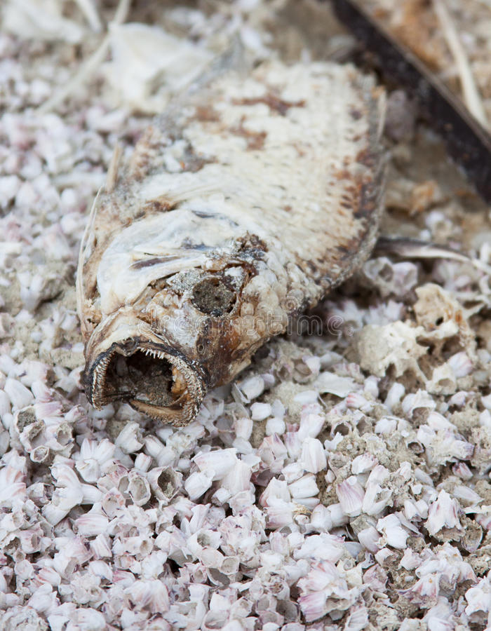 Νεκρό tilapia στα ξηρά κόκκαλα ψαριών στη θάλασσα Salton στοκ φωτογραφία