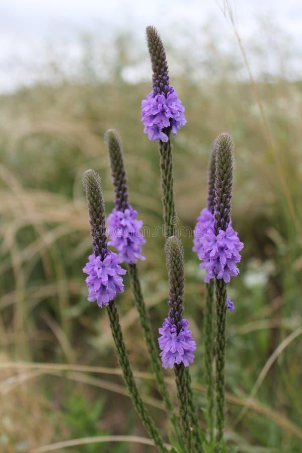 Νεμπράσκα Wildflower στοκ φωτογραφίες με δικαίωμα ελεύθερης χρήσης