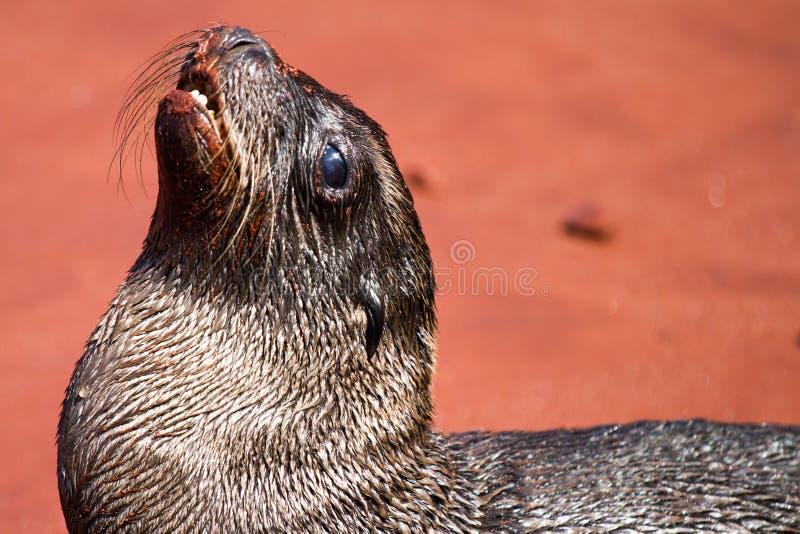 νεογέννητη θάλασσα λιονταριών στοκ φωτογραφίες με δικαίωμα ελεύθερης χρήσης