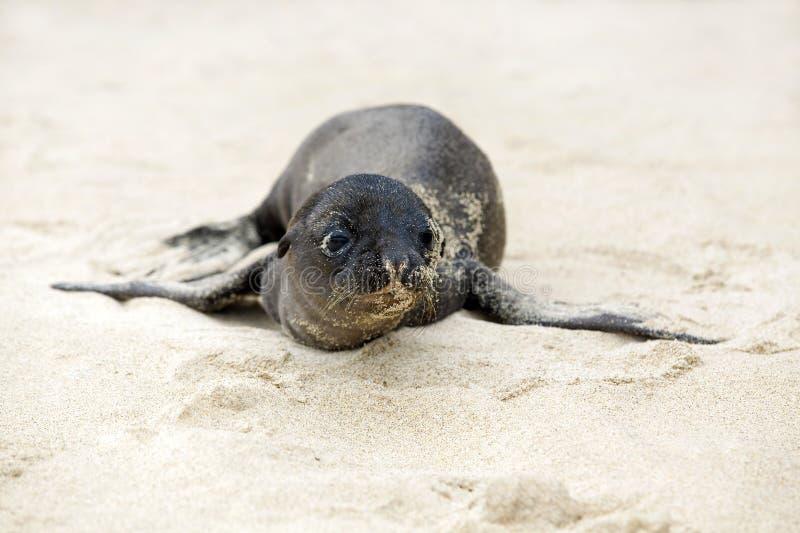 νεογέννητη θάλασσα λιον&tau στοκ φωτογραφίες με δικαίωμα ελεύθερης χρήσης