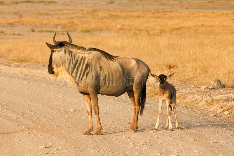 Νεογέννητος πιό wildebeest στο πάρκο Amboseli, Κένυα στοκ εικόνες