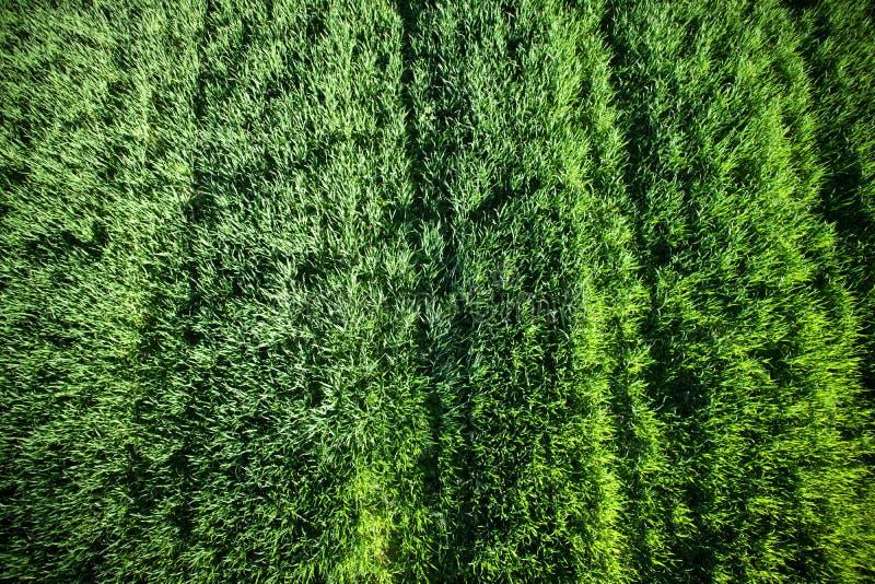 Νεογέννητος πράσινος σίτος στοκ φωτογραφία με δικαίωμα ελεύθερης χρήσης