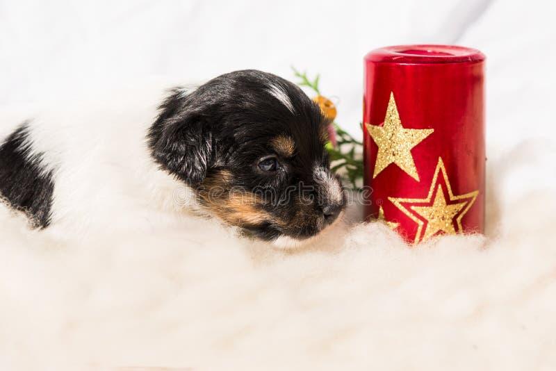 Νεογέννητο κουτάβι τεριέ του Jack Russell Σκυλάκι Χριστουγέννων στοκ εικόνες