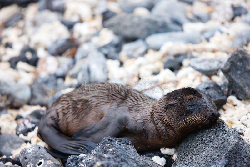 Νεογέννητο λιοντάρι θάλασσας στοκ εικόνες