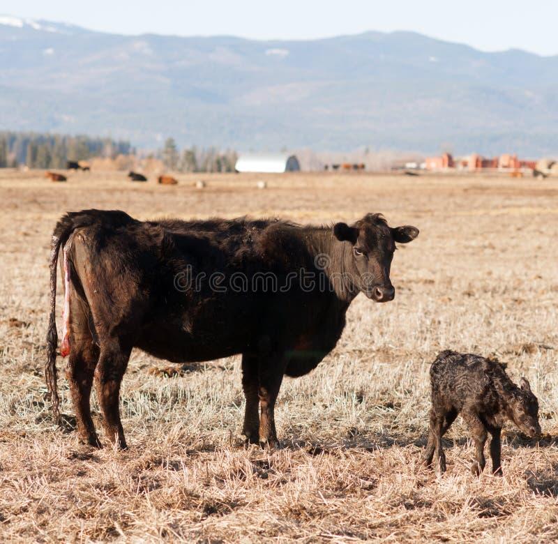 Νεογέννητο μόσχων της Μοντάνα αγρόκτημα βοοειδών γέννησης αγροκτημάτων αβοήθητο στοκ φωτογραφίες με δικαίωμα ελεύθερης χρήσης