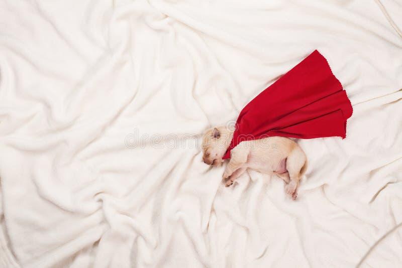 Νεογέννητο σκυλί κουταβιών του Λαμπραντόρ με τον ύπνο ακρωτηρίων superhero στοκ φωτογραφία με δικαίωμα ελεύθερης χρήσης