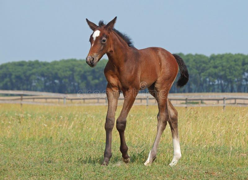 Νεογέννητο foal σε ένα λιβάδι στοκ εικόνες