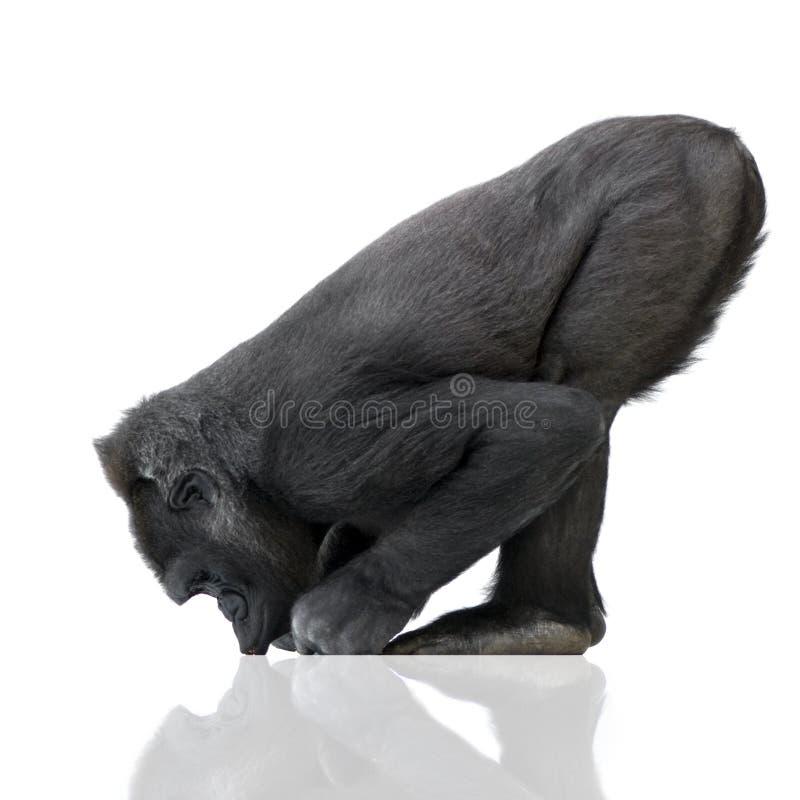 νεολαίες γορίλλων silverback στοκ φωτογραφία