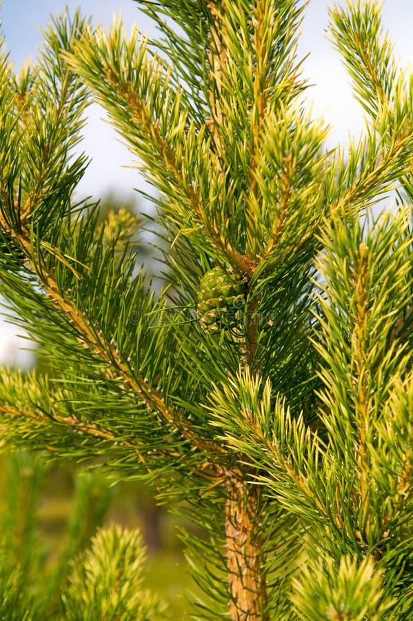 νεολαίες δέντρων πεύκων στοκ εικόνα με δικαίωμα ελεύθερης χρήσης