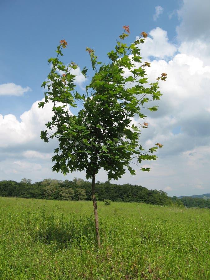 νεολαίες δέντρων σφενδάμ&nu στοκ εικόνες με δικαίωμα ελεύθερης χρήσης