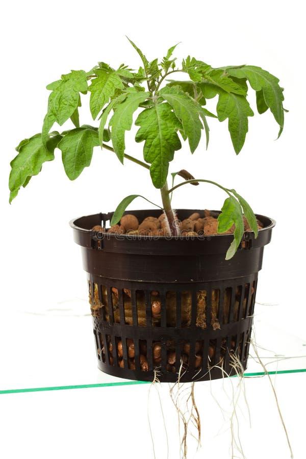 νεολαίες ντοματών φυτών στοκ εικόνες με δικαίωμα ελεύθερης χρήσης