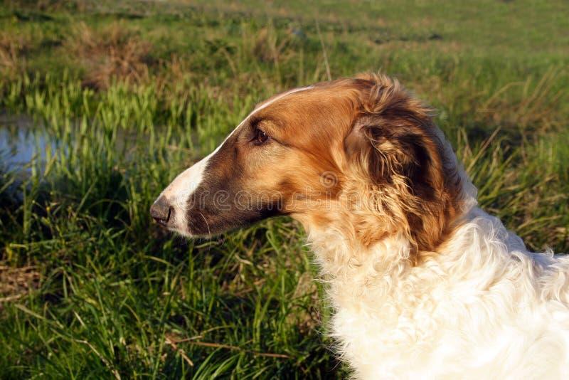 νεολαίες σκυλιών borzoi στοκ φωτογραφία με δικαίωμα ελεύθερης χρήσης
