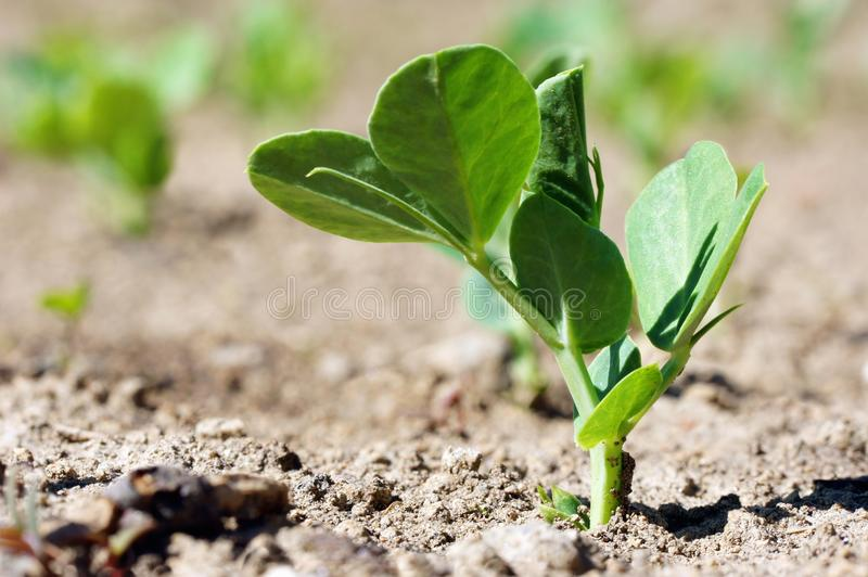 νεολαίες φυτών μπιζελιών στοκ φωτογραφία