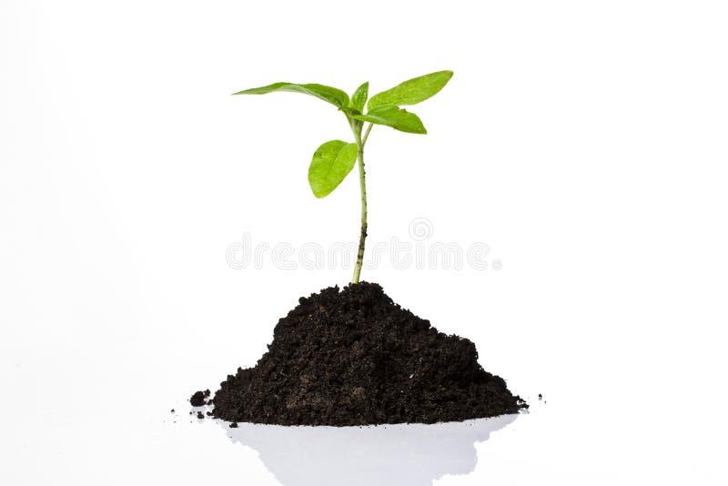 νεολαίες φυτών στοκ φωτογραφία με δικαίωμα ελεύθερης χρήσης